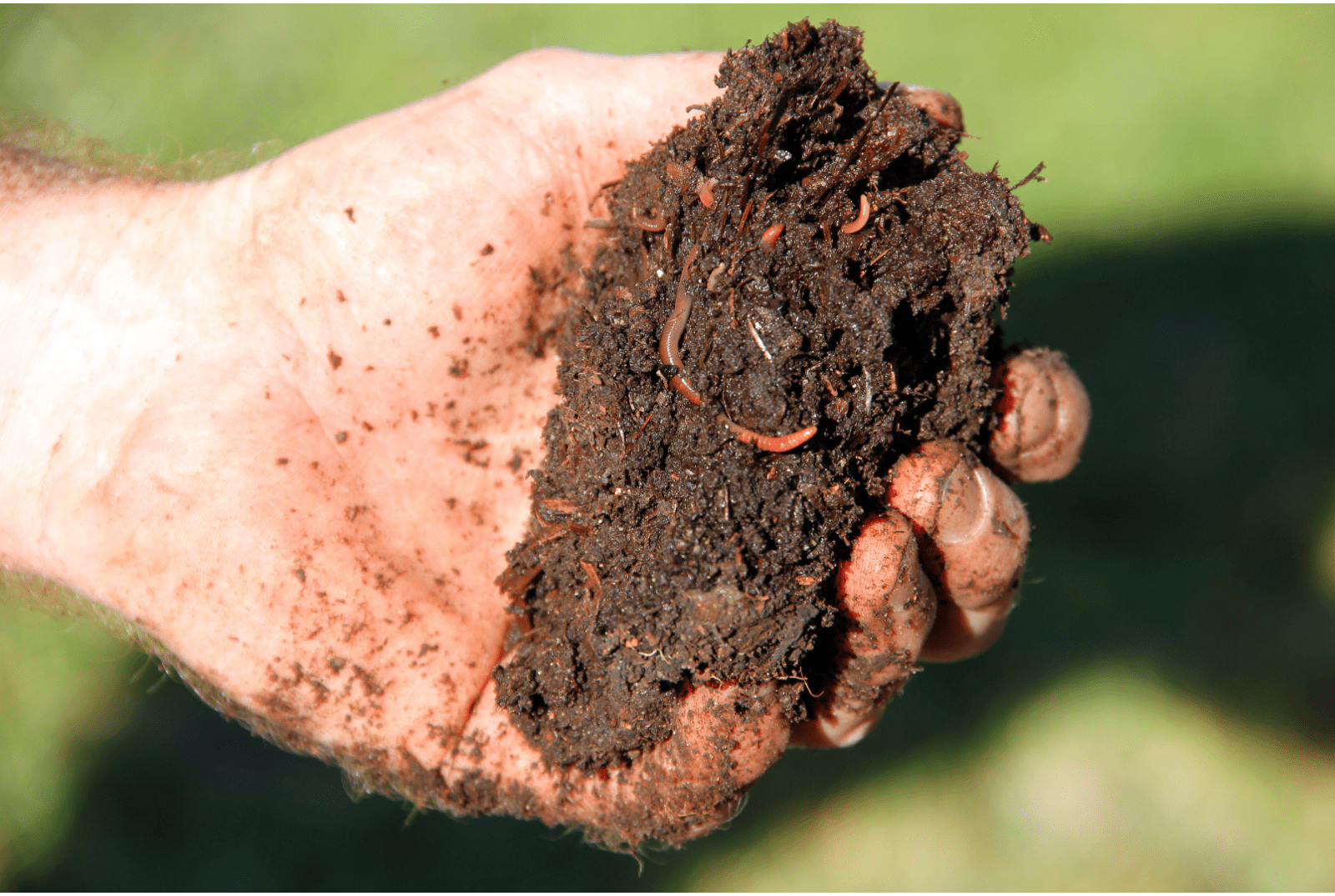 Wormen in compost